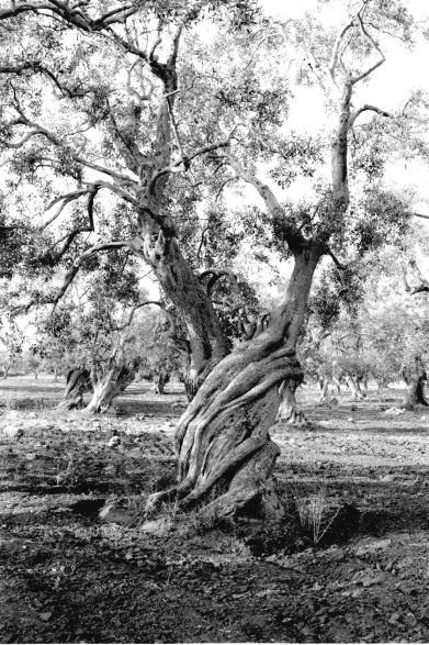 11 Curated Amazing Olive Tree 39 S Ideas By Glebegc Trees All Seeing Eye And In Love