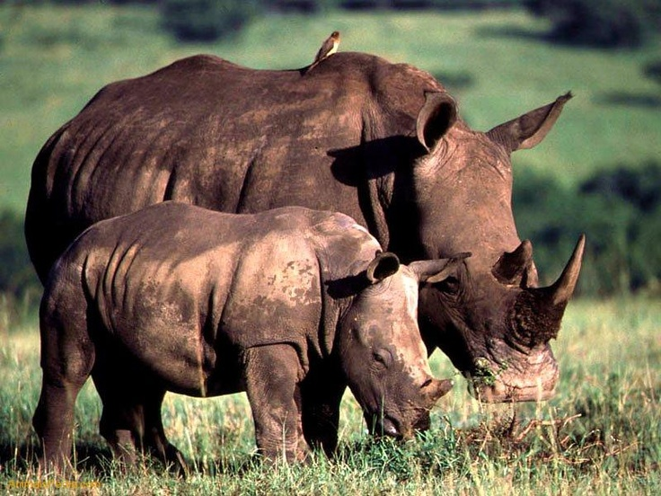 Grazing White Rhinoceros