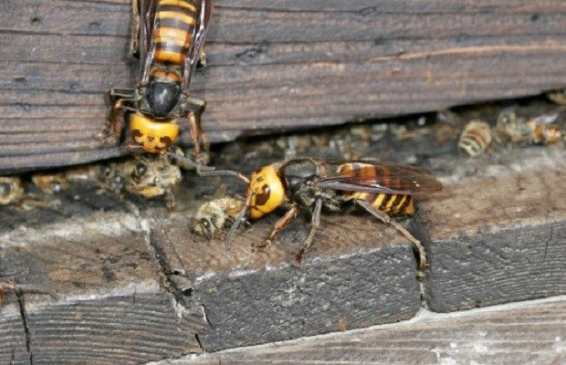 Asian Giant Hornet - The size of Asian Giant Hornet is comparable to a human thumb. This giant hornet's venom can be detrimental to your red blood cells causing kidney failure and death.