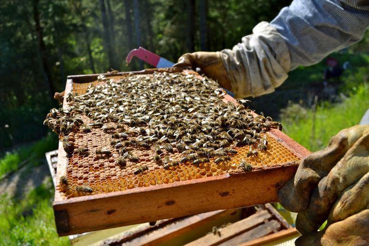 Ορεινή Μέλισσα: To μπλόκαρισμα του γόνου Ένα παράδειγμα τέτοιας χρήσης είναι να πάρουμε ένα πλαίσιο με πληθυσμού μαζί με τη βασίλισσα και να το τοποθετήσουμε στη γονοφωλιά μαζί με 9 άκτιστα πλαίσια. Το βασιλικό διάφραγμα θα τοποθετηθεί ακριβώς από επάνω και η βασίλισσα θα αναγκαστεί να γεννήσει εκ νέου όλες τις κηρήθρες.Στο μεταξύ τα πάνω πλαίσια θα γεμίζουν με μέλι ενώ ταυτόχρονα ο γόνος θα εκκολάπτεται.