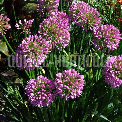 image de Allium Millenium