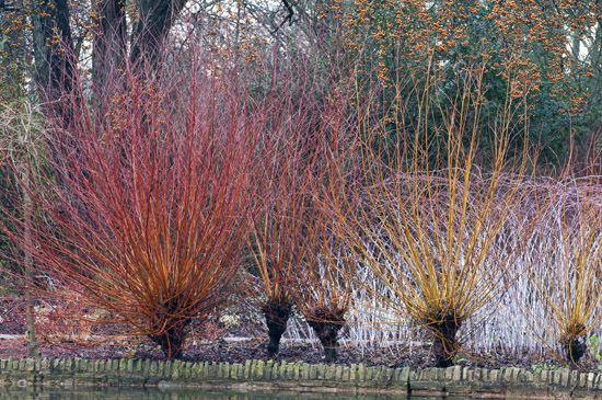 Rusty orange stems of Salix alba var vitellin 'Britzensis' with Pyrus pashia, Champion Tree behind.