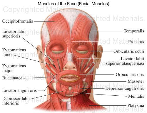 Muscles of the Face (Facial Muscles)