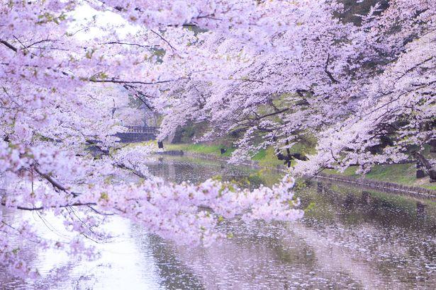 米沢・上杉の桜 さくら 桜 #sakura #Japan