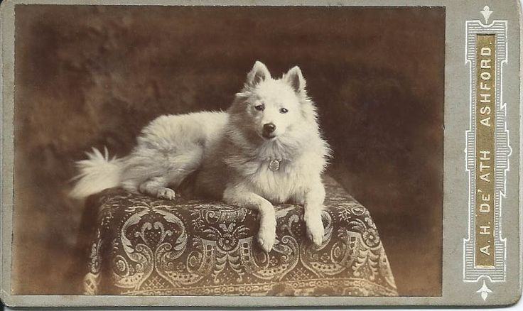 c.1890 cdv of gorgeous white spitz lying on boldly patterned draped table. Photo by A. H. De'Ath, Ashford, Kent. From bendale collection
