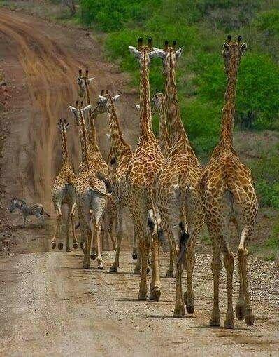 Giraffe strolling along