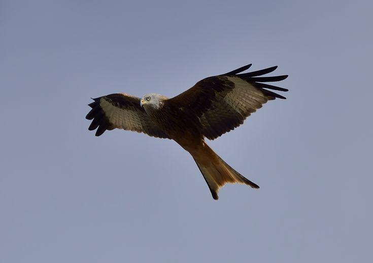 #milvus_milvus #milanoreal #redkite #milareial #rapaces #raptors #birds #pajaros #birdingphotography #fotosdepajaros #wildbirds #wildnature #caminandoconmochilaycamara #walkingwithbackpackandcamera #viajandodenorteasur #travelingfromnorthtosouth #pantanodeutxesa #utxesa #lleida #catalunya #españa #freelife #freelifestyle #freespirit ##natureshots #naturelovers #naturelife #gypsysoul