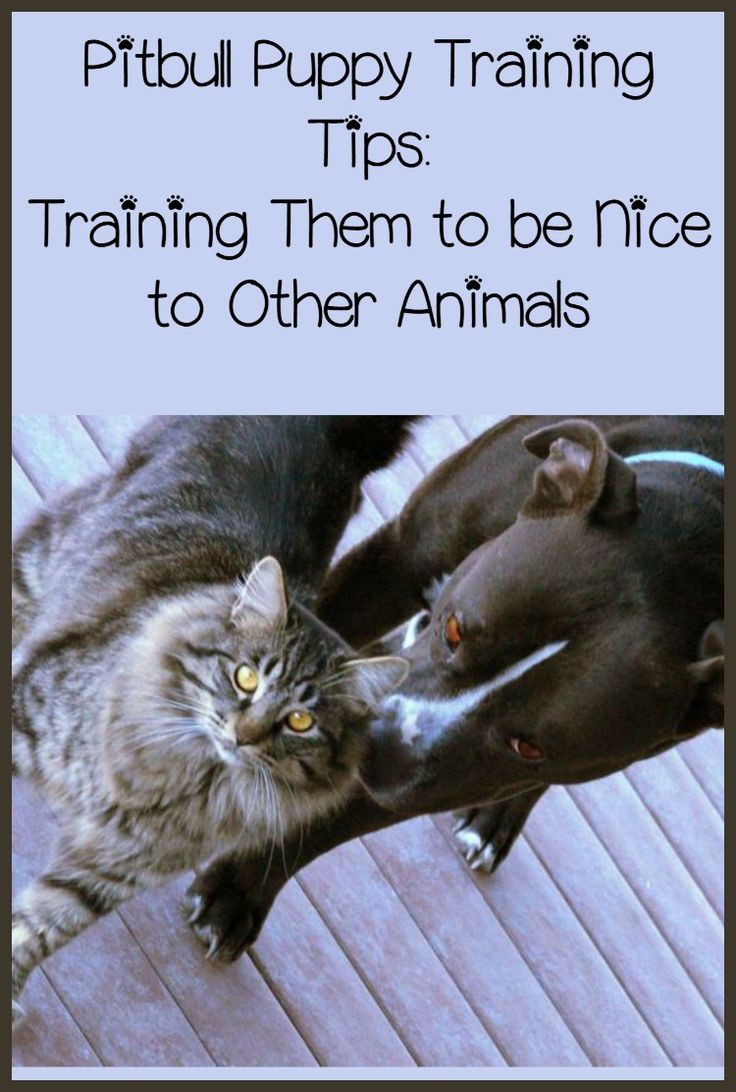 Pitbull Puppy Training Tips: Training Them to be Nice: Today in Pitbull Puppy Training Tips, we'll be discussing how to make your Pit nice. Socialization is the key in this Pitbull Puppy Training Tips segment.