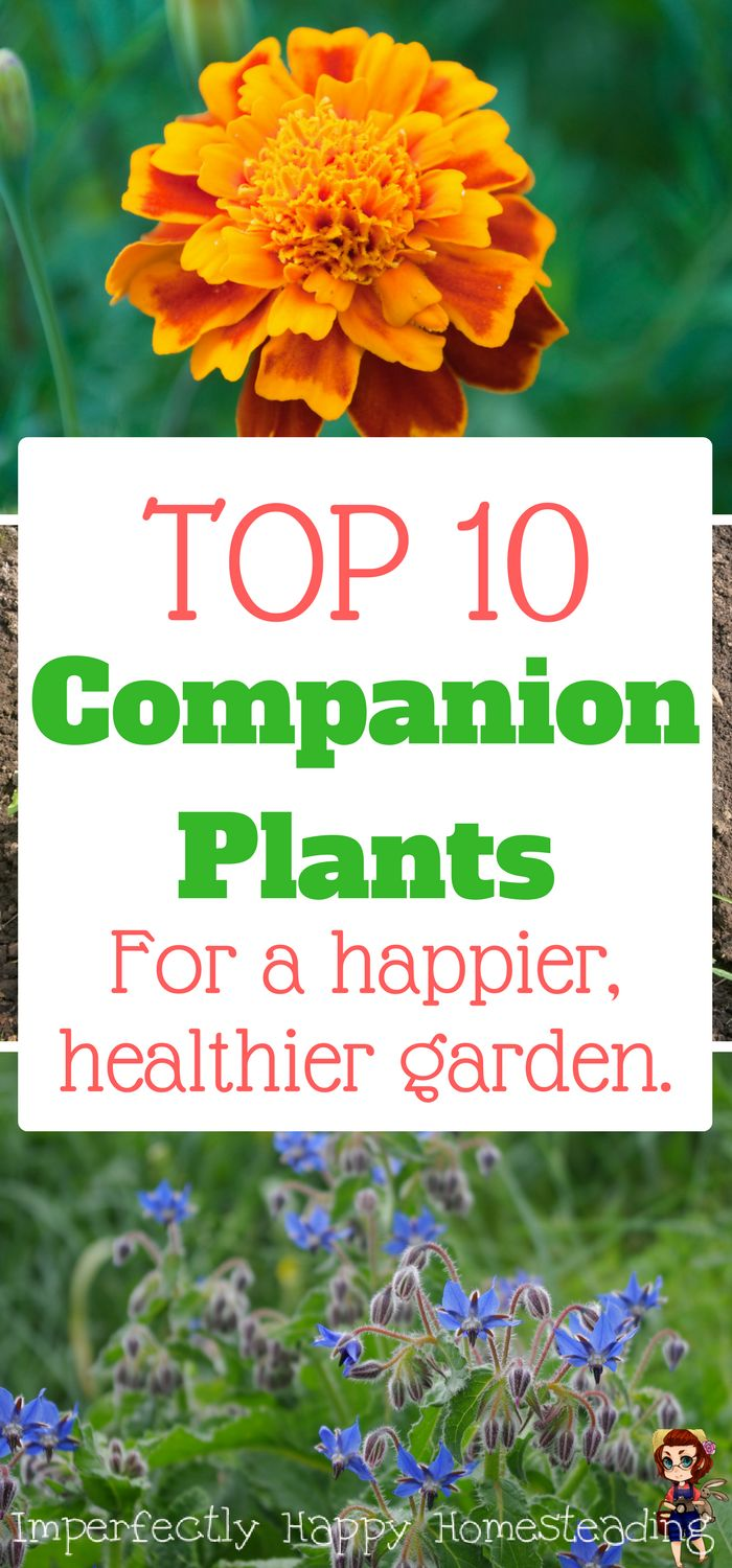 The Top 10 Companion Plants for Your Vegetable Garden. Have a happier, healthier garden by adding these companions into your planting.