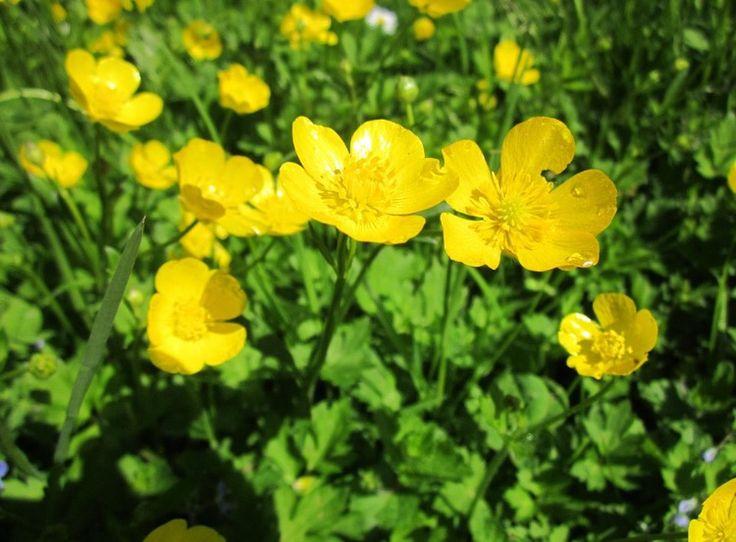 Smørblomst ~ Ranunculus acris