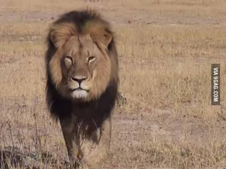 R.I.P. Cecil, the Greatest Lion of Africa