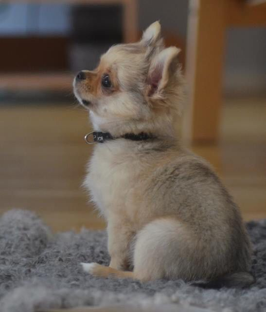 The sweet look of longing...                                                                                                                                     Chihuahua