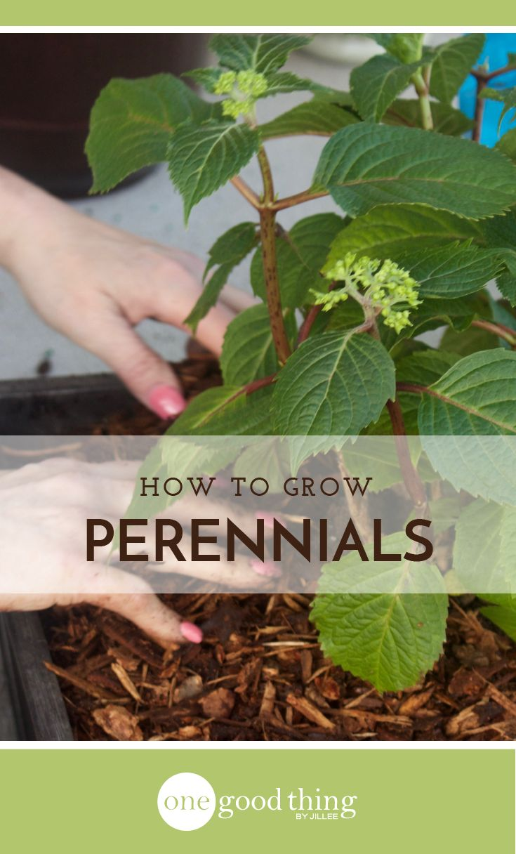 Why I Love Perennials and How to Grow Them - One Good Thing by Jillee
