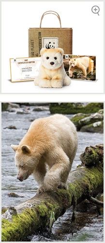 The rare Kermode bear is a subspecies of the American black bear. One out of every ten has a unique cream-coloured coat. The white bears are also known as Spirit bears. Habitat destruction is the biggest threat faced by the Kermode bear.     Adopt one today!