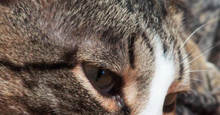 Perda de pelos nas orelhas de gatos. Perda de pelos em orelhas de gatos pode simplesmente ser uma queda comum; entretanto, o problema pode também ser desconfortável e ameaçador para o animal. Notar alguns sintomas pode ajudar a encontrar a raiz do problema, mas um veterinário deve sempre ser visitado para garantir um diagnóstico apropriado e tratamento do animal.