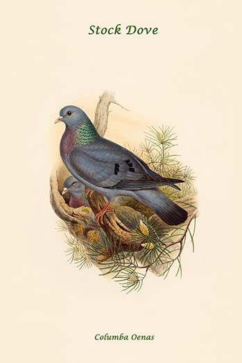 Columba Oenas - Stock Dove