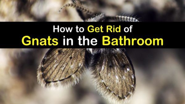 Bathroom Gnats Infestation How To Get Rid Of Gnats In The Bathroom In 2020 How To Get Rid Of Gnats Gnats Get Rid Of Flies