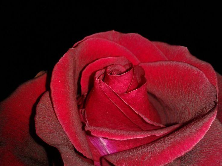 red rose alexonio photography