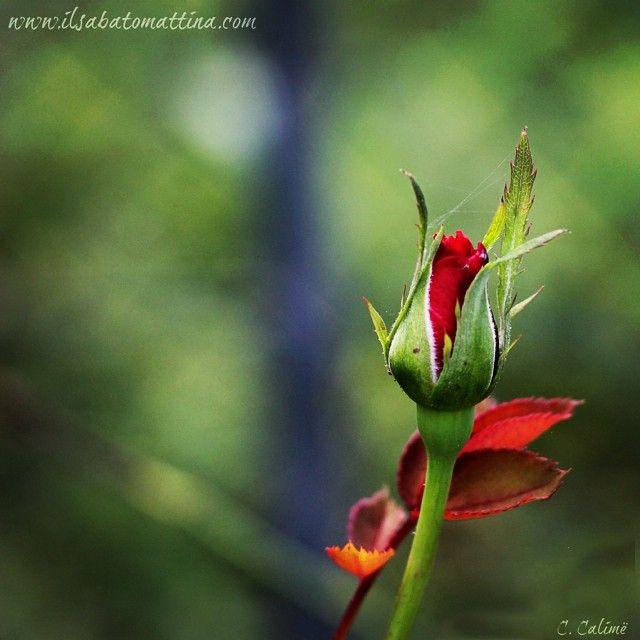 www.ilsabatomattina.com si sente romantica! #ilsabatomattina #rose #rosa #bocciolo #natura #nature #green #red #love #amore #bud #bulb #iphone #picoftheday #photography #photo #ph