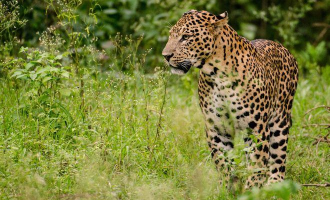 42 #leopards in #Yamunanagar #KalesarNationalPark