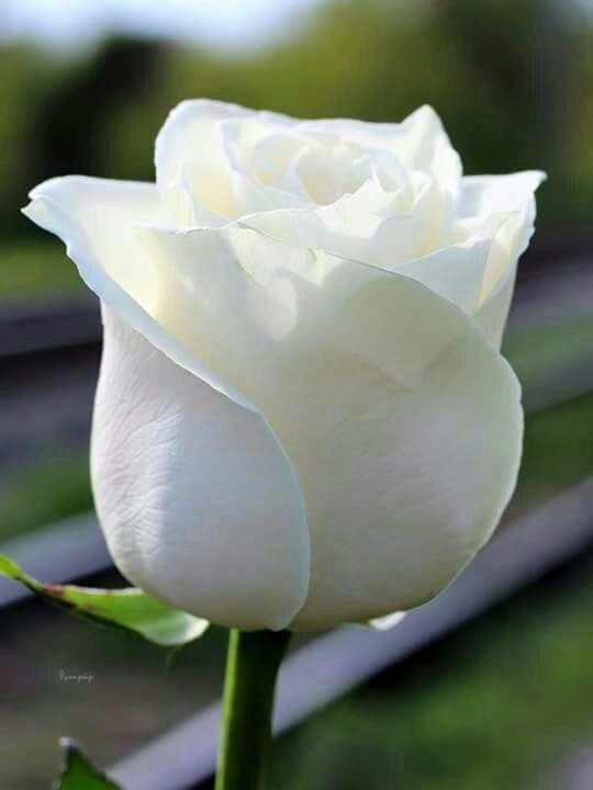 Pin De Rosa En Rosas Pinterest Flores Rosadas Rosas Blancas Y