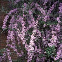 Buddleja alternifolia  Buddleia - 3 litres