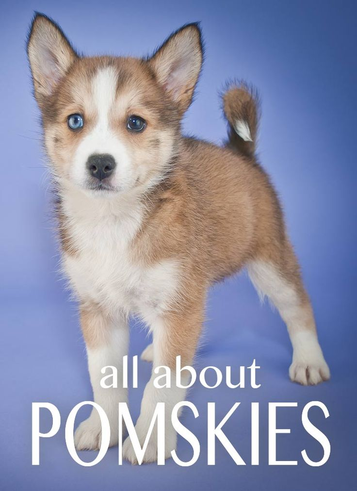 If you are thinking about buying a Pomsky dog - this is what you need to read