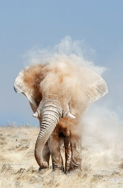 "Crop of photo by Peter Delaney - ""He is big 4 meters tall and over 4 ton in weight, he is the ""Godfather"". In one fluid movement he sprays his forehead and for one brief moment he is covered in the magic of dust and light. Etosha, Namibia."""