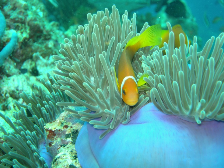 25 best clownfish pictures images on pinterest clownfish for Clown fish adaptations