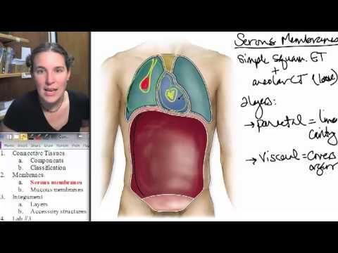 03 4 Serous Membranes - YouTube