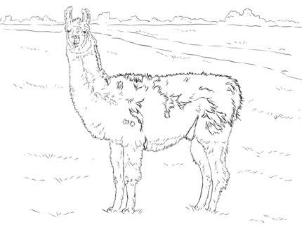 click to see printable version of realistic llama coloring page