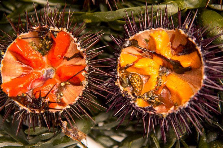 Oursins comestibles de Méditerranée ou Paracentrotus lividus. Le mâle est rouge, la femelle est jaune © Camille Oger http://www.lemanger.fr