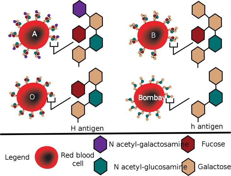 H Antigen ABO Blood Group antige...