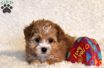 Sharla, Havanese Mix puppy for sale in Paradise, Pa