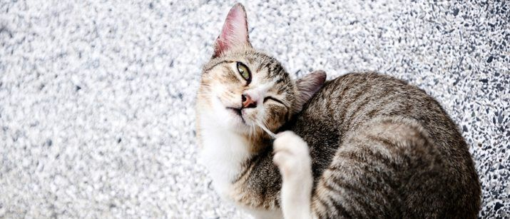 Flea and Tick Control for Cats. Fleas are a common parasite in cats of all ages. Ticks are found predominantly in bushy areas, and in the warmer months of the year. #pets #cats #care
