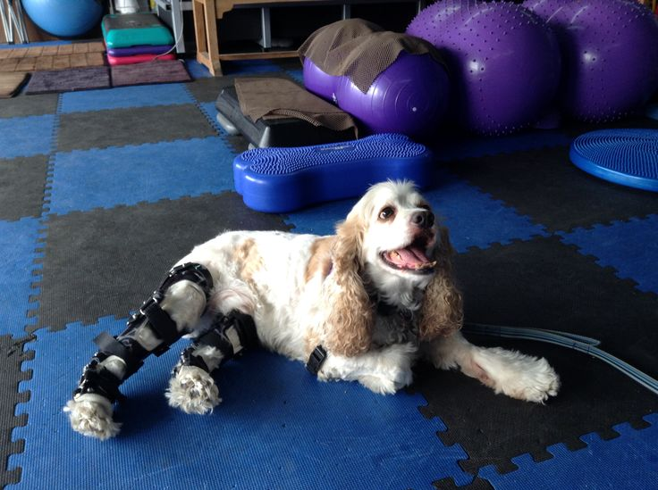 Reggie is an 8 year old Cocker Spaniel who has suffered bilateral tears of his cruciate ligaments, which would be equivalent to an ACL tear in a human. Reggie uses his OrthoPets stifle orthoses to support the joints and help keep him more mobile while he also takes part in some rehabilitation with one of our Partner Clinics, A Well Adjusted Pet in Pacifica, CA. Reggie is doing great in both of his devices and is happy to be able to get around again! #orthopets #dogprosthetic  #dogbrace