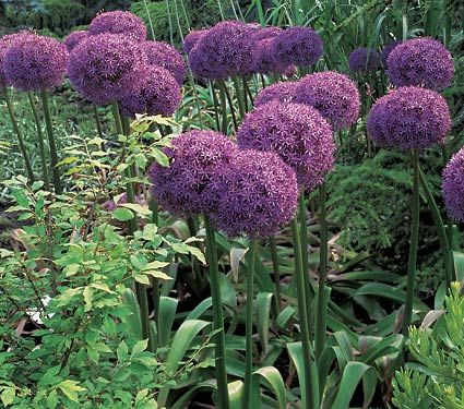 Tuck the bulbs around clumps of summer-flowering perennials where the Alliums' withering foliage will be hidden by the expanding perennials. Some combinations we use at the nursery include Allium 'Globemaster' among Echinacea (Purple Coneflower); Allium sphaerocephalon (the Drumstick Allium) with Yarrow, Asiatic Lilies, or Phlox maculata 'Natascha'; and Allium cristophii (Star of Persia) with Salvia 'May Night' and Alchemilla mollis (Lady's Mantle)