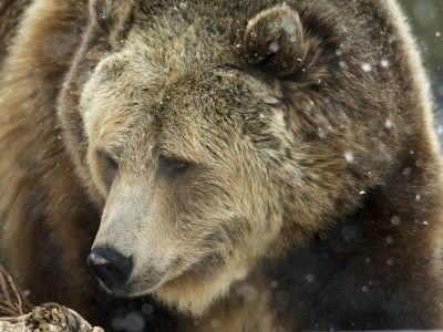 Judge Halts Plan to Eliminate Secure Grizzly Bear Habitat in Northwest Montana | Earthjustice
