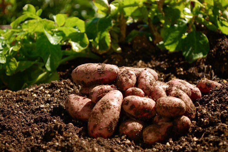 Сажаем картошку под зиму и получаем суперранний урожай
