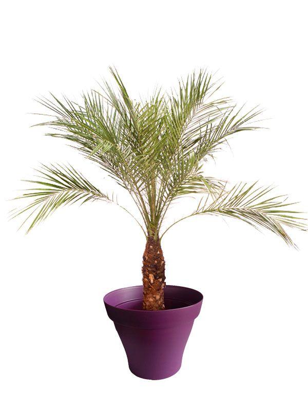 Les 25 meilleures id es de la cat gorie palmier phoenix for Palmier dans pot