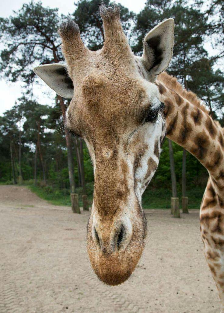 #Burgers Zoo #Giraffe #Beautiful
