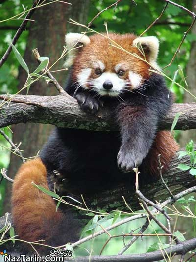 Red panda - one of the cutest animals alive!!!!