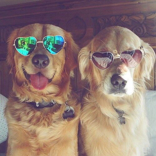 Golden retrievers with sunglasses on