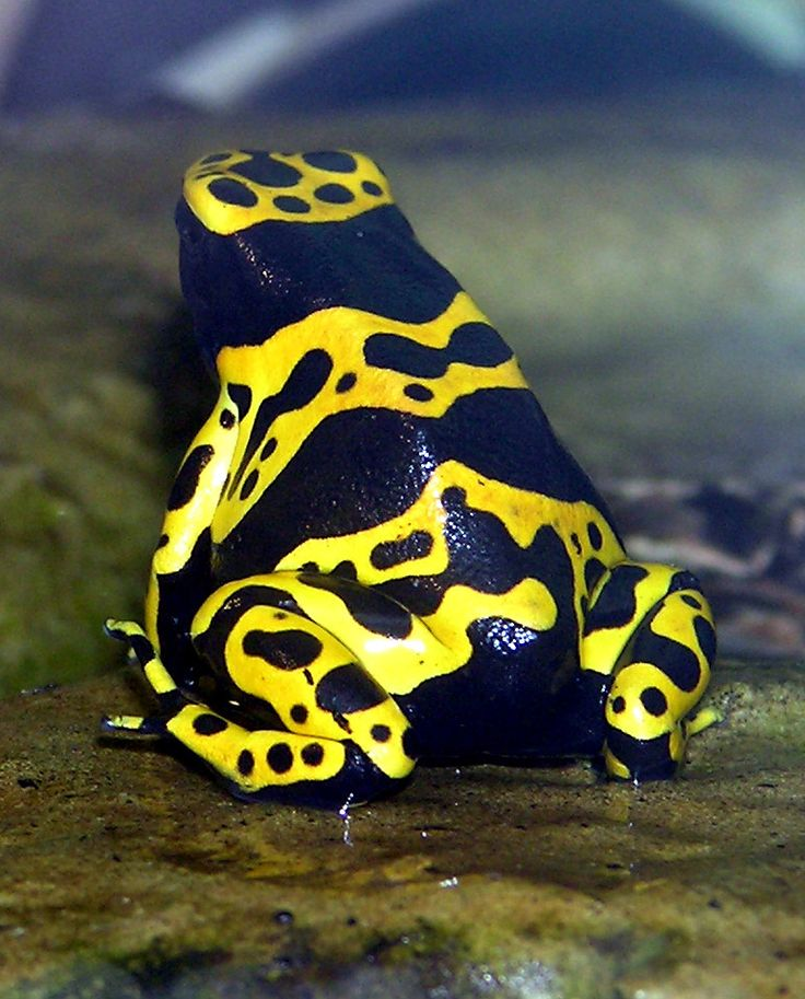 Yellow-banded Poison Dart Frog, found in the jungles of Brazil.