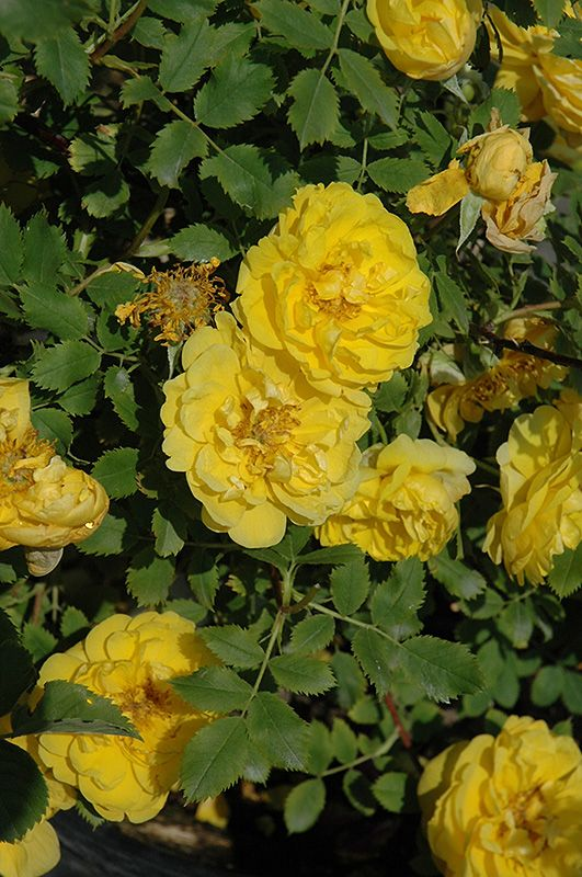 Rosa 'Persian Yellow' | Shrub Rose