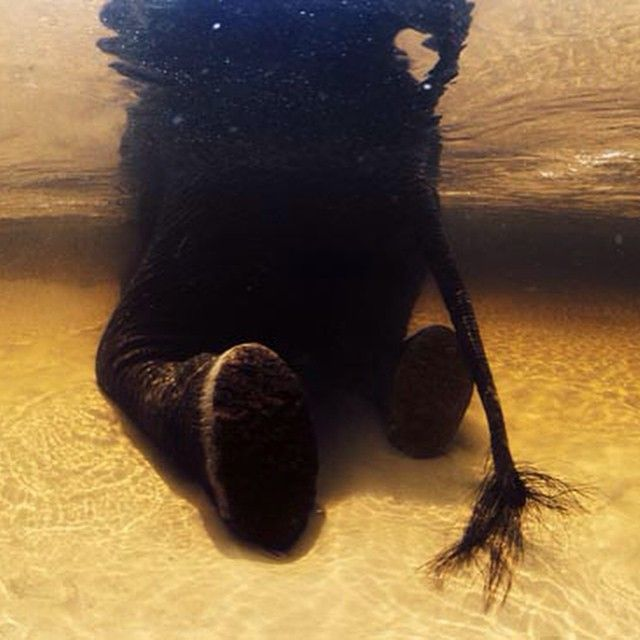 Elephant Swim Photo by @daviddoubilet an African #elephant submerges to cool off  in the tannin rich waters of the mid delta region #OkavangoDelta #Botswana. Elephants are nearly weightless underwater and act like children rolling, swimming and playing water games. this one was kneeling and stretching across the sandy bottom to scratch his body.