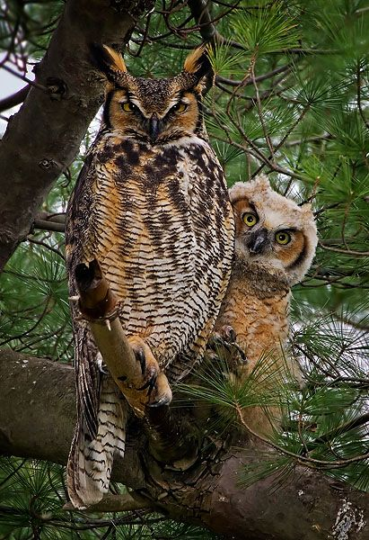 liquidnight:    Great Horned Owls [Bubo virginianus]  [Photographer Unknown]