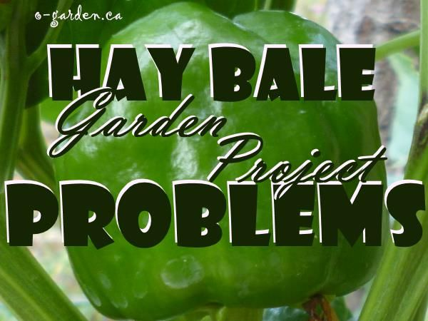 Hay Bale Garden Project Problems - figuring out the issues