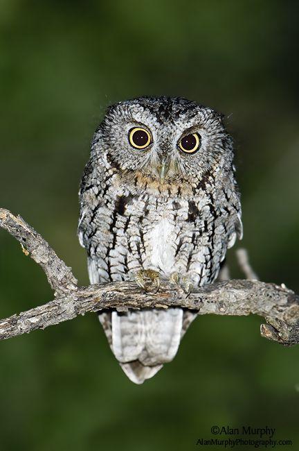 Whiskered Screech Owl | Whiskered Screech-Owl 4 - Pima Co, AZ - May
