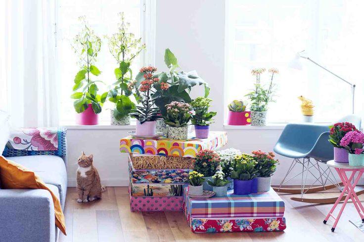 HONSELERSDIJK - Volle zon, hoogzomer, hogedrukgebieden? Kleur je leven, je huis en je tuin met Kalanchoë, de makkelijkste, kleurrijkste plant ooit! Bijzondere blaadjes, bloemen in funky kleuren en sprookjesachtige vormen, Kalanchoë biedt je de tropen op haar mooist. Het is een veelzijdige, exotische familie met een uitgelaten karakter.    Er zijn kalanchoës die je vooral voor het